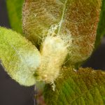Nematus bergmanni cocoon Credit Andrew Green