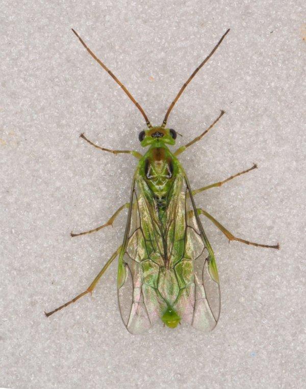 Nematus bergmanni female Credit Andrew Green