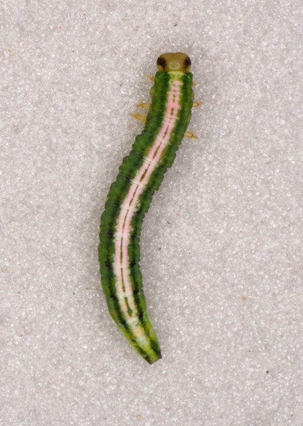 Nematus bergmanni larva Credit Andrew Green