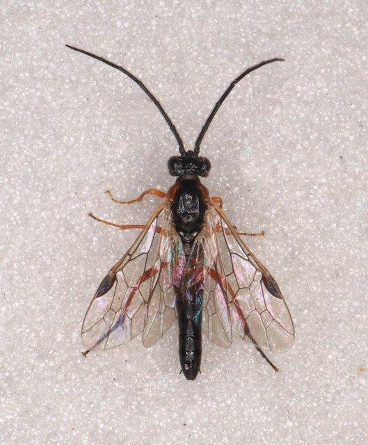 Nematus lucidus Credit Andrew Green