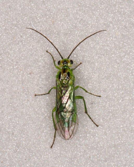 Nematus viridissimus female Credit Andrew Green