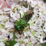 Tenthredo olivacea female Credit Shirley Millar