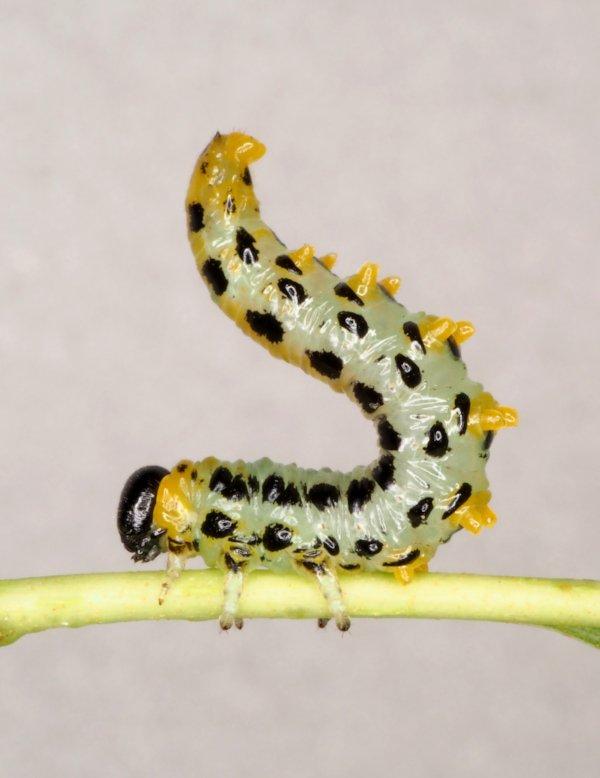Craesus septentrionalis larva Credit Andrew Green