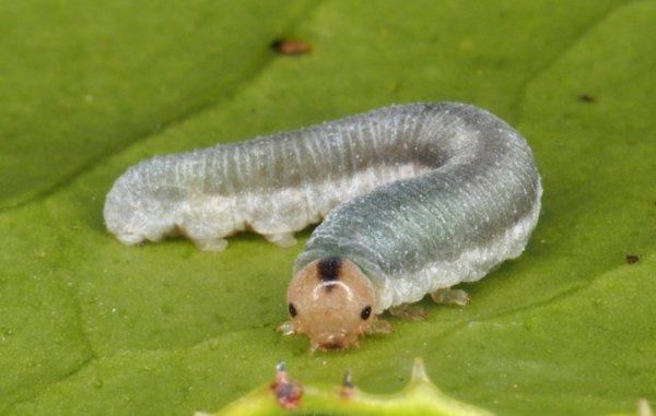 Monostegia abdominalis larva Credit Andrew Green