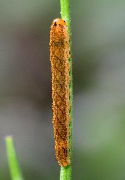 Tenthredo colon larva Credit Noel Austin