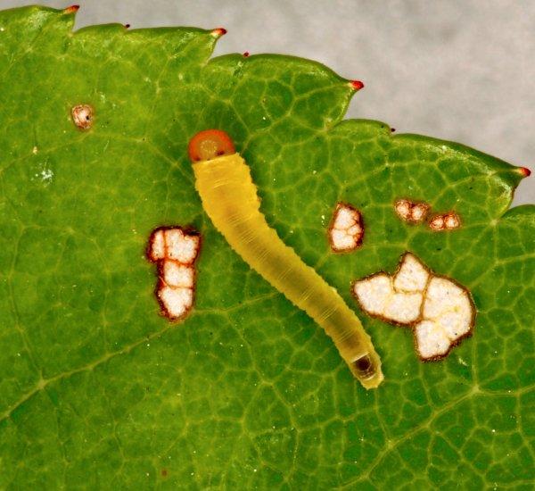 Endelomyia aethiops larva Credit Andrew Green