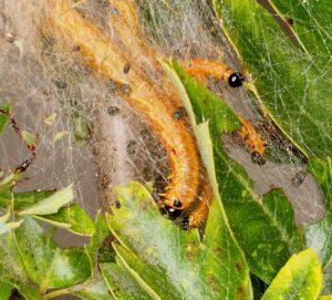 Neurotoma saltuum larvae Credit Andrew Green
