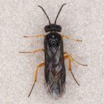 Halidamia affinis female Credit Andrew Green
