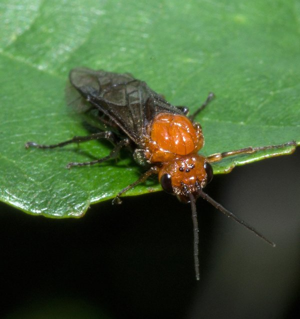 Hemichroa australis Credit Stephen Plant