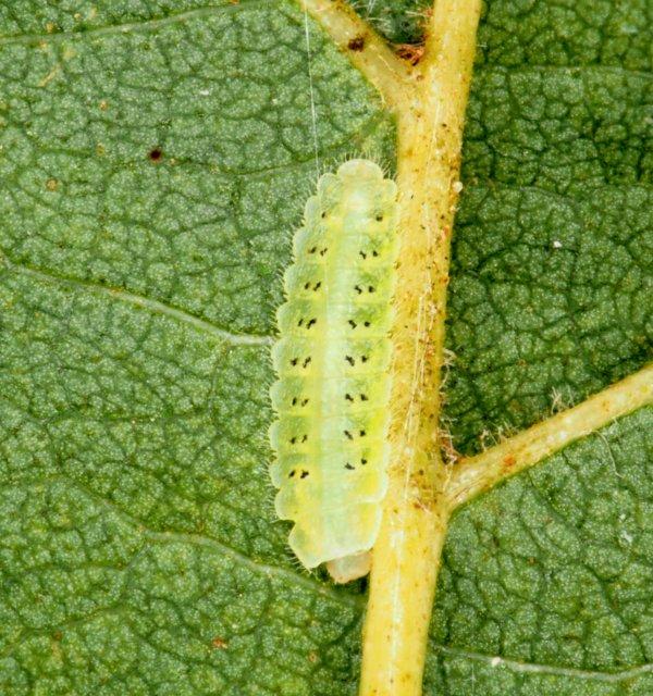 Platycampus luridiventris larva Credit Andrew Green