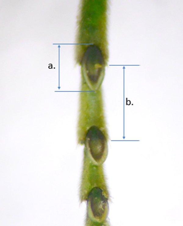 Rhogogaster chlorosoma detail Credit Andrew Green