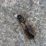 Sirex juvencus female Credit Roy Lowry