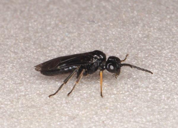 Stethomostus fuliginosus male Credit Andrew Green