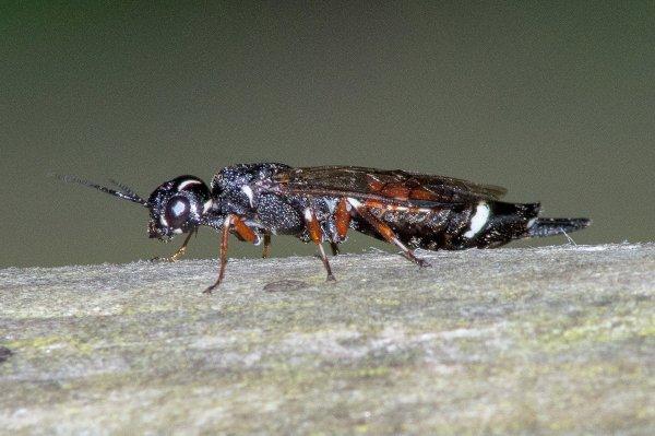 Xiphydria prolongata Credit Stephen Plant