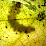 Scolioneura betuleti larva Credit Andrew Green