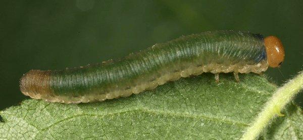 Allantus rufocinctus larva (Hungarian specimen) Credit György Csóka