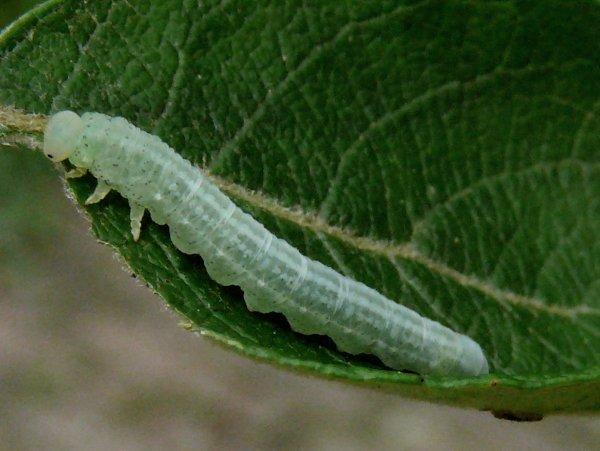 Amauronematus histrio larva (Netherlands specimen) Credit Leo Blommers