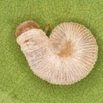 Apethymus filiformis larva Credit György Csóka