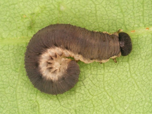 Apethymus serotinus larva (Hungarian specimen) György Csóka