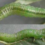 Arge nigripes larva (Austrian specimen) Credit Rob Edmunds