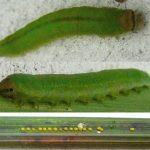 Brachythops flavens larva (Netherlands specimen) Credit Leo Blommers