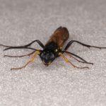 Calameuta filiformis female Credit Andrew Green