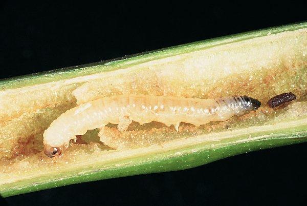Cladardis elongulata larva (Hungarian specimen) Credit György Csóka