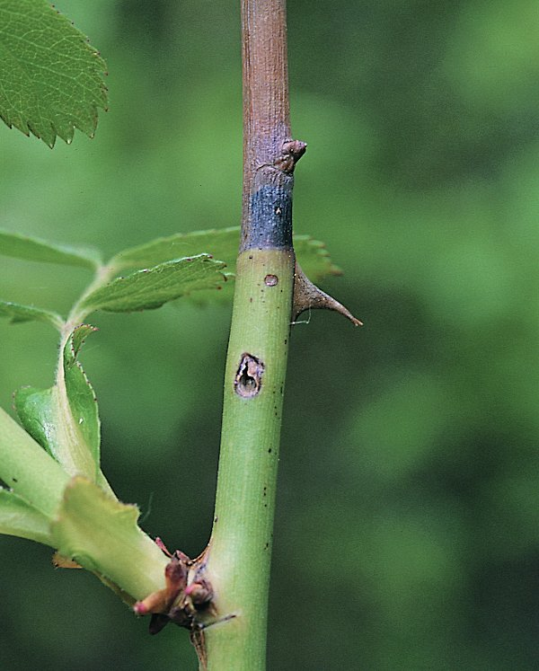 Cladardis elongulata larval damage (Hungarian specimen) Credit György Csóka