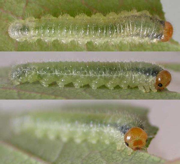 Cladius pectinicornis larva Credit Ben Smart