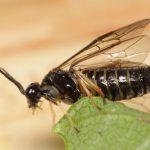 Cladius ulmi female ex larva on elm Credit Mark Boddington