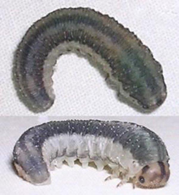 Rhogogaster (Cytisogaster) genistae larva Credit Chris Court