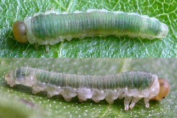 Dineura viridodorsata larva (Austrian specimen) Credit Rob Edmunds