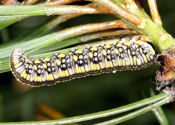 Diprion similis larva (Hungarian specimen) Credit György Csóka