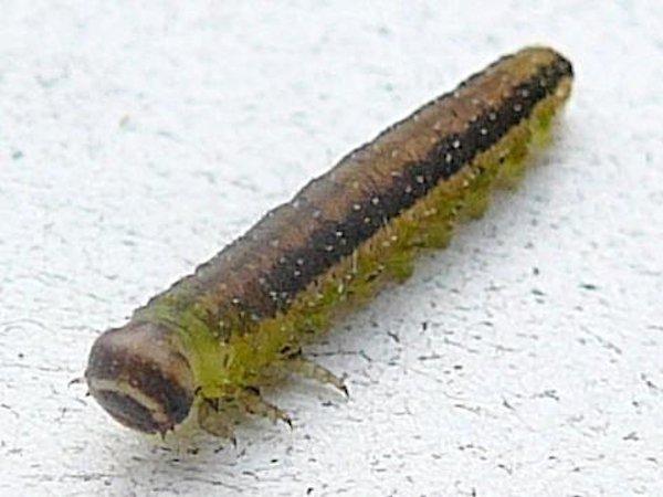 Dolerus aericeps (Netherlands specimen) Credit Leo Blommers