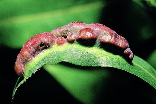 Euura dolichura gall (Hungarian specimen) Credit György Csóka