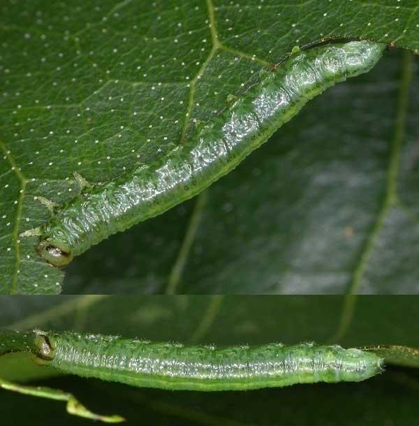Euura viridissimus larva Credit Mark Boddington
