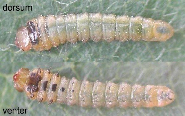 Fenusella nana larva Credit Rob Edmunds