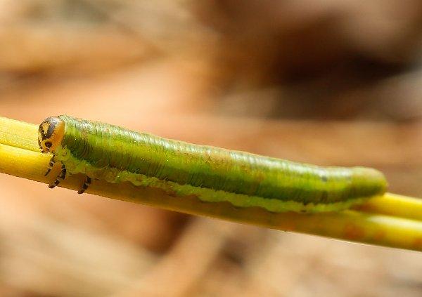 Gilpinia frutetorum larva (Denmark specimen) Credit Bo Valeur