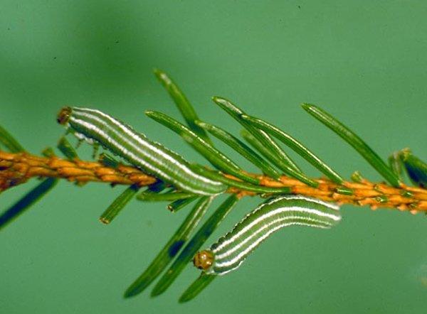Gilpinia hercyniae larvae (German specimen) Credit Gerhard Elsner, Biologische Bundesanstalt für Land- und Forstwirtschaft