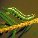 Gilpinia hercyniae larva (German specimen) Credit Gerhard Elsner, Biologische Bundesanstalt für Land- und Forstwirtschaft