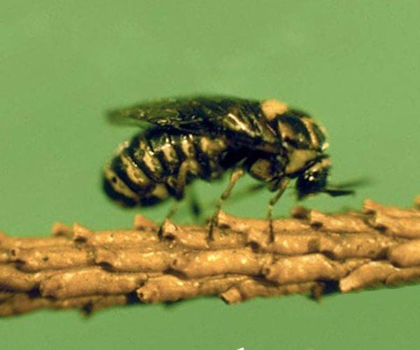 Gilpinia hercyniae (German specimen) Credit Gerhard Elsner, Biologische Bundesanstalt für Land- und Forstwirtschaft