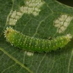 Harpiphorus lepidus larva (Hungarian specimen) Credit György Csóka