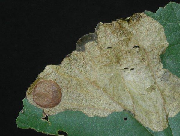 Heterathrus vagans cocoon (Hungarian specimen) Credit György Csóka