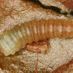 Heterathrus vagans larva (Hungarian specimen) Credit György Csóka