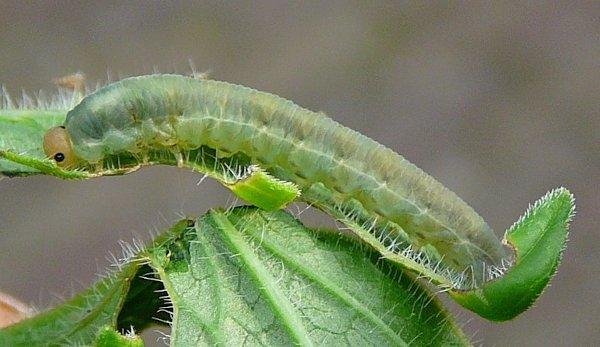 Macrophya albicincta larva (Netherlands specimen) Credit Leo Blommers