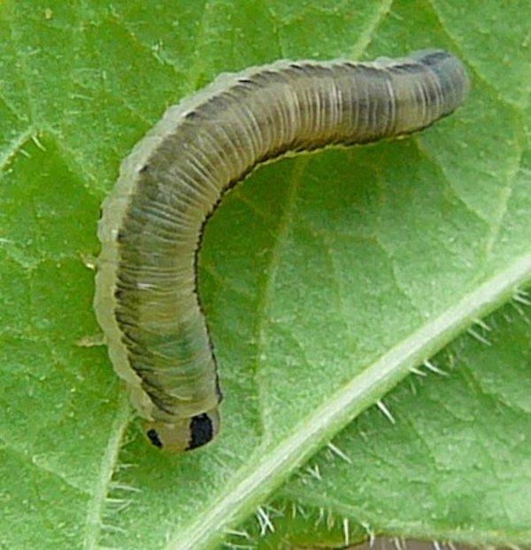 Macrophya alboannulata larva (Netherlands specimen) Credit Leo Blommers