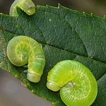 Macrophya punctumalbum (Netherlands specimen) Credit Leo Blommer