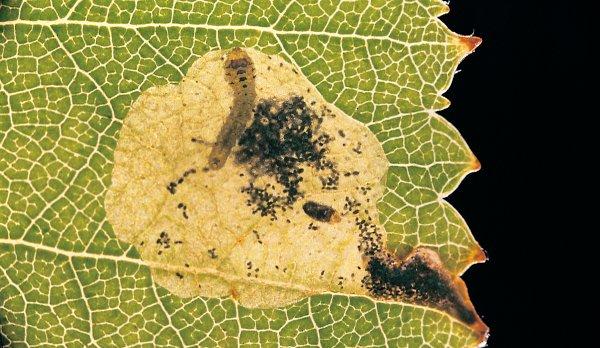 Fenusella nana mine (Hungarian specimen) Credit György Csóka