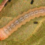 Metallus pumilus larva (Hungarian specimen) Credit György Csóka