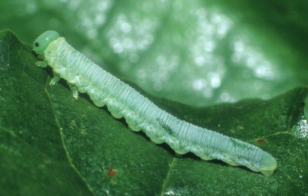 Monsoma pulveratum larva (Hungarian specimen) Credit György Csóka